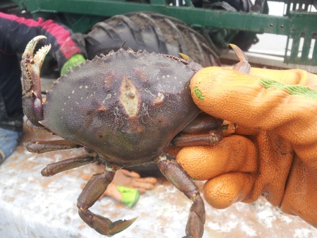 A Dungeness crab who made his way under the netting to feast on Manila clams. As the crab tries to escape, it pushes its carapa<e against the hard plastic net, causing the lesion. After a time, the plastic penetrates the shell and the animal dies. Nature takes no prisoners.