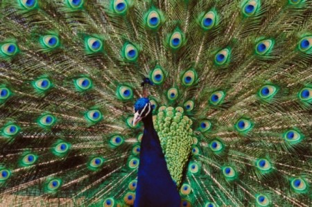 Are ya lookin'? The male peacock eyespots, designed to attract the cruisin' female.